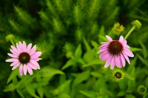 Echinacea spp.
